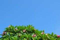 Λουλούδια Plumeria Frangipanis ομορφιάς ενάντια στο μπλε ουρανό Στοκ φωτογραφία με δικαίωμα ελεύθερης χρήσης