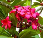 Λουλούδια Plumeria Fucsia Στοκ εικόνες με δικαίωμα ελεύθερης χρήσης