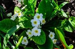 Λουλούδια Primula Primula vulgaris σε ένα δάσος Στοκ φωτογραφία με δικαίωμα ελεύθερης χρήσης
