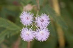 Λουλούδια pudica Mimosa Στοκ Φωτογραφία