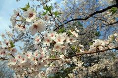Λουλούδια Sakura Στοκ Εικόνα