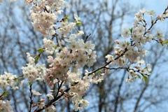 Λουλούδια Sakura Στοκ εικόνα με δικαίωμα ελεύθερης χρήσης