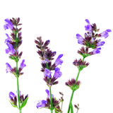 Λουλούδια Salvia Στοκ Φωτογραφίες