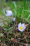Λουλούδια Snowdrop που ανθίζουν στο δάσος τα ιώδη πέταλά του στο dro Στοκ Εικόνα