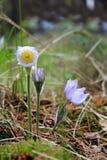 Λουλούδια Snowdrop που ανθίζουν στο δάσος τα ιώδη πέταλά του στο dro Στοκ Εικόνες