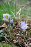 Λουλούδια Snowdrop που ανθίζουν στο δάσος τα ιώδη πέταλά του στο dro Στοκ Φωτογραφία
