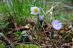 Λουλούδια Snowdrop που ανθίζουν στο δάσος τα ιώδη πέταλά του στο dro Στοκ Φωτογραφίες