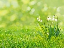 Λουλούδια Snowdrops στο θολωμένο υπόβαθρο χλόης Στοκ Εικόνες