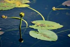Λουλούδια Spatterdock Everglades Στοκ Εικόνα