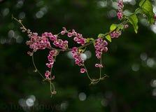 Λουλούδια Tigon - leptopus Antigonon στοκ εικόνα