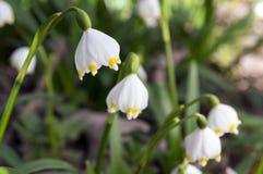 Λουλούδια vernum Leucojum, πρόωρα snowflakes άνοιξη στο λιβάδι Στοκ εικόνες με δικαίωμα ελεύθερης χρήσης