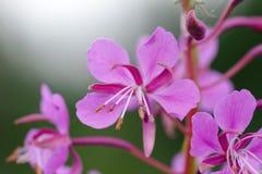 Λουλούδια Willowherb Στοκ Εικόνες
