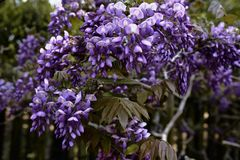 Λουλούδια Wisteria στην άνθιση στην άνοιξη στοκ φωτογραφίες με δικαίωμα ελεύθερης χρήσης