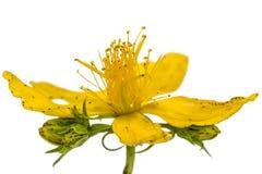 Λουλούδια wort του ST John (perforatum Hypericum), που απομονώνονται επάνω Στοκ φωτογραφίες με δικαίωμα ελεύθερης χρήσης