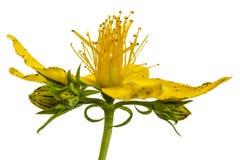 Λουλούδια wort του ST John (perforatum Hypericum), που απομονώνονται επάνω Στοκ Εικόνες