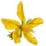 Λουλούδια wort του ST John (perforatum Hypericum), που απομονώνονται επάνω Στοκ εικόνα με δικαίωμα ελεύθερης χρήσης