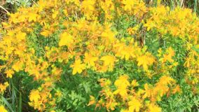 Λουλούδια wort του ST-John ` s που ανθίζει στον τομέα φιλμ μικρού μήκους