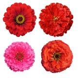 λουλούδια Zinnia συλλογής  Στοκ Εικόνα