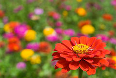 λουλούδια Zinnia Στοκ φωτογραφία με δικαίωμα ελεύθερης χρήσης