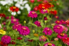 λουλούδια Zinnia Στοκ φωτογραφίες με δικαίωμα ελεύθερης χρήσης