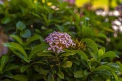 λουλούδι ภ«à¸™ ภ«à¸µ ภ«ακίδων ี στοκ εικόνες με δικαίωμα ελεύθερης χρήσης