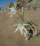 Λουλούδι άμμου στην παραλία ther στη Κύπρο στοκ εικόνες