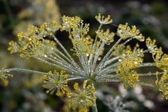 λουλούδι άνηθου Στοκ Εικόνες