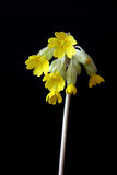 λουλούδι άνθισης cowslip Στοκ Εικόνα