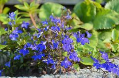Λουλούδι άνοιξη Nemophila στοκ φωτογραφία
