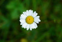 λουλούδι ένα μικρές άγρια  Στοκ Φωτογραφίες