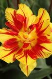 λουλούδι ένα τουλίπα Στοκ φωτογραφίες με δικαίωμα ελεύθερης χρήσης