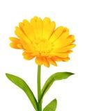 λουλούδι ένα calendula πορτοκάλι στοκ εικόνα με δικαίωμα ελεύθερης χρήσης