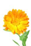 λουλούδι ένα calendula πορτοκάλι στοκ φωτογραφία με δικαίωμα ελεύθερης χρήσης