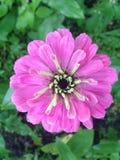 Λουλούδι ήλιων στα φρέσκα χρώματα Στοκ εικόνα με δικαίωμα ελεύθερης χρήσης