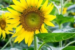 Λουλούδι ήλιων στον κήπο Στοκ εικόνες με δικαίωμα ελεύθερης χρήσης