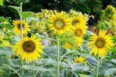 Λουλούδι ήλιων στον κήπο Στοκ Εικόνες