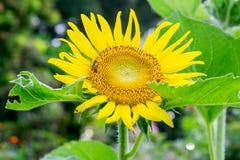Λουλούδι ήλιων στον κήπο Στοκ Φωτογραφίες