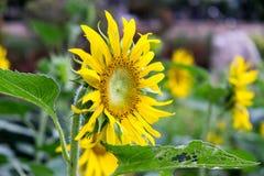 Λουλούδι ήλιων στον κήπο Στοκ φωτογραφία με δικαίωμα ελεύθερης χρήσης