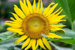 Λουλούδι ήλιων στον κήπο Στοκ φωτογραφίες με δικαίωμα ελεύθερης χρήσης