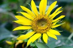 Λουλούδι ήλιων στον κήπο Στοκ Φωτογραφία