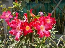 Λουλούδι ή αζαλέα Adenium Στοκ εικόνα με δικαίωμα ελεύθερης χρήσης