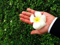 Λουλούδι ή πέταλο Plumeria σε ετοιμότητα με το πράσινα υπόβαθρο φύλλων και το διάστημα αντιγράφων Στοκ φωτογραφίες με δικαίωμα ελεύθερης χρήσης