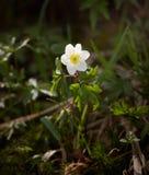 Λουλούδι αέρα στο δάσος που φωτίζεται από μια ηλιαχτίδα Στοκ Φωτογραφίες