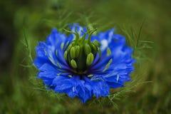 Λουλούδι αγάπη--α-υδρονέφωσης το καλοκαίρι Στοκ φωτογραφία με δικαίωμα ελεύθερης χρήσης