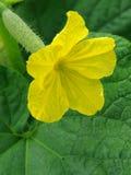 λουλούδι αγγουριών Στοκ φωτογραφίες με δικαίωμα ελεύθερης χρήσης