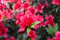 Λουλούδι αζαλεών Στοκ εικόνες με δικαίωμα ελεύθερης χρήσης