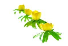 λουλούδι ακονίτων στοκ φωτογραφία
