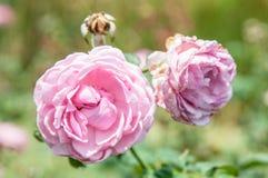 λουλούδι ανασκόπησης φ&ups Καταπληκτική άποψη φύσης της άνθισης λουλουδιών Στοκ Εικόνα