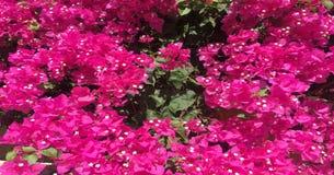 λουλούδι ανασκόπησης φ&ups Καταπληκτική άποψη φύσης των κόκκινων λουλουδιών που ανθίζουν στον κήπο κάτω από το φως του ήλιου στα  Στοκ Φωτογραφία