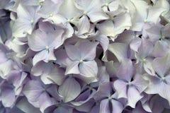 λουλούδι ανασκόπησης mophead Στοκ φωτογραφίες με δικαίωμα ελεύθερης χρήσης